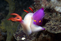 Nudibranchs, Lembeh Straits, Indonesia | by ColinZylka