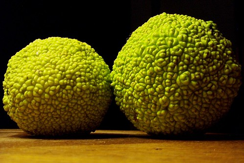 Hedge Apples | by rcvernors