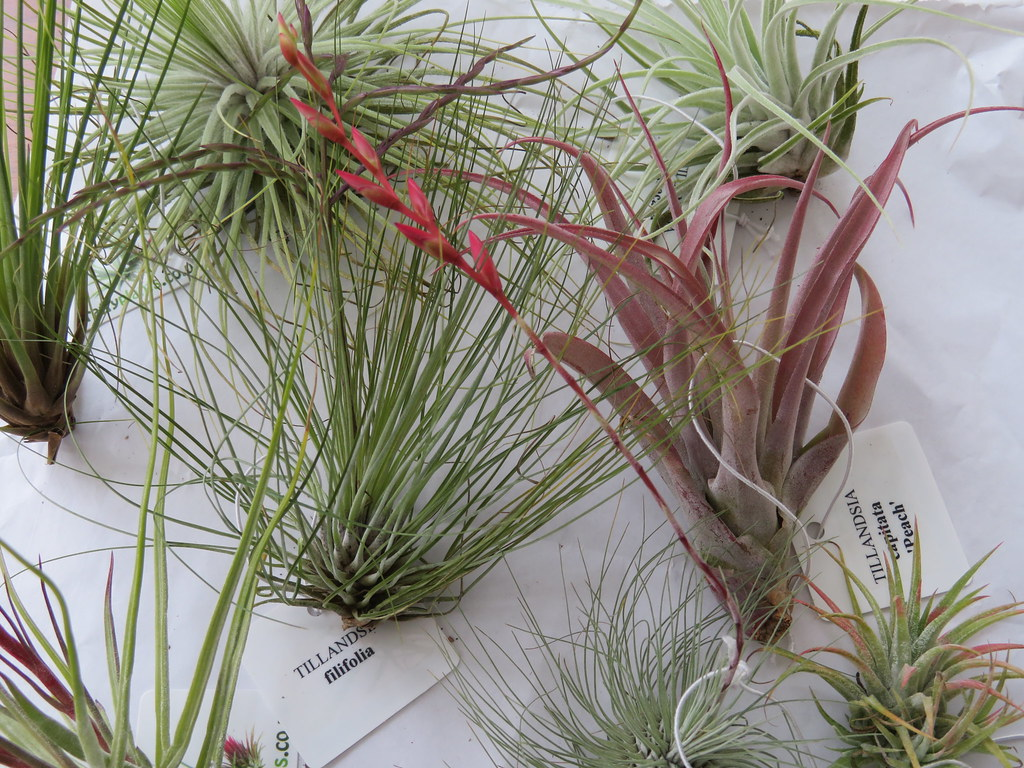 Tillandsias From Harrogate Spring Flower Show We Also Got Flickr