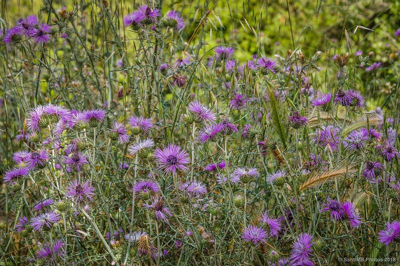 Flores de cardo cerca de Can Valldaura