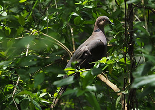 African Mourning Dove | by Phil Gate Keeper