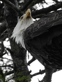april 12 2018 16:24 - Eagle in The His & Hers Tree | by boonibarb