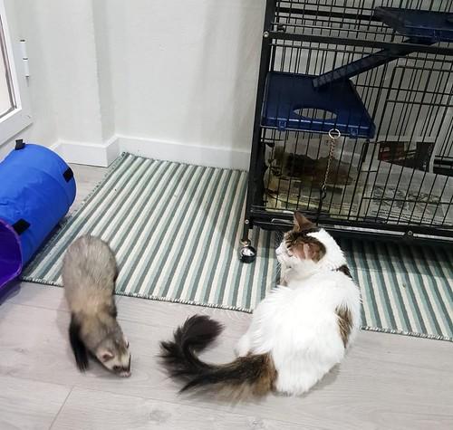 Aquiles, gato cruce Van Turco noble y buenísimo esterilizado, nacido en Enero´16, en adopción. Valencia. ADOPTADO. 41395047755_8b9a3a6201