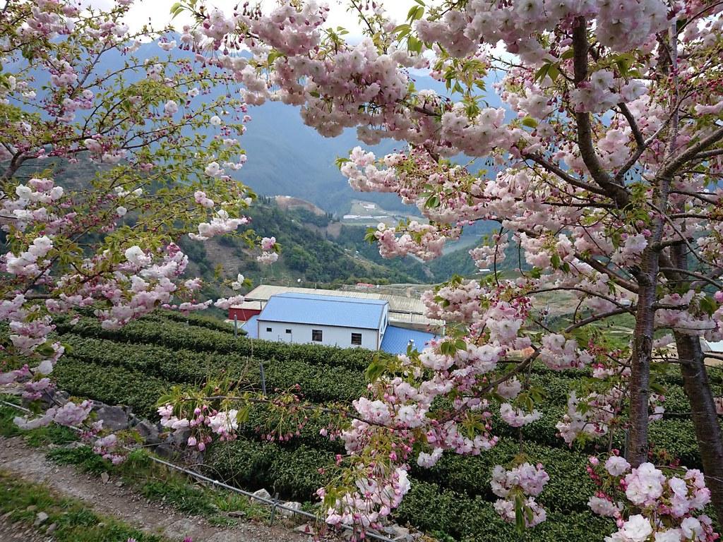 高山櫻花 梨山古邁茶園粉粉櫻花盛開