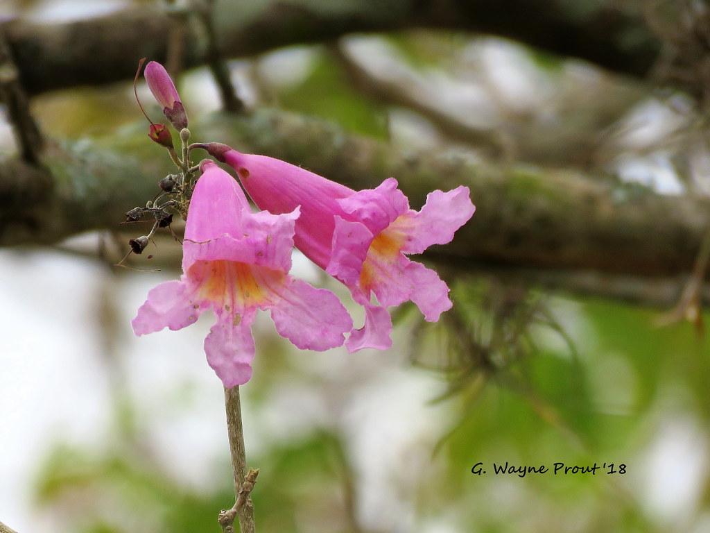 Pink Trumpet Tree Flowers Tabebuia Impetiginosa Pink Tru Flickr