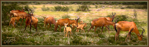 Image of a herd of African Antelopes