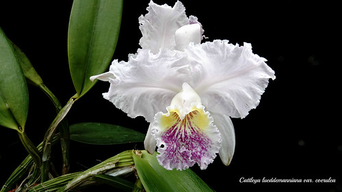 Cattleya lueddemanniana var. coerulea 'Indore' x self | by emmily1955