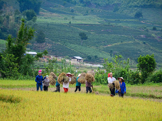 People working on rice field in summer | by phuong.sg@gmail.com