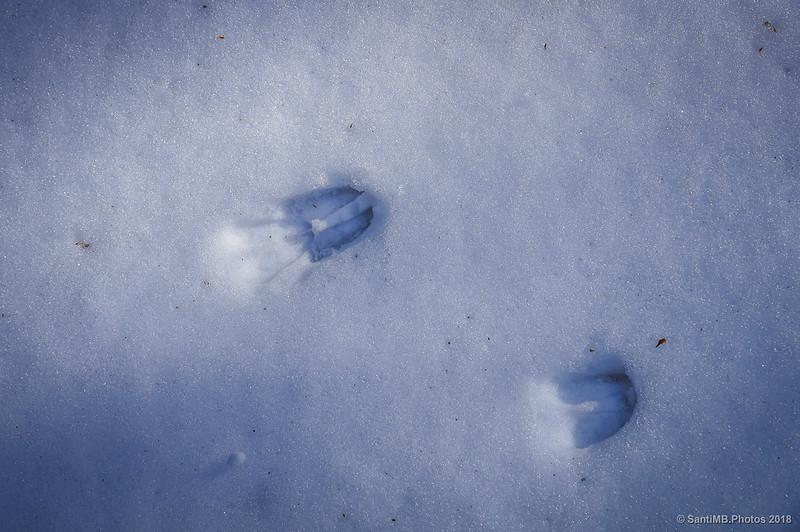 Huellas de corzo en la nieve