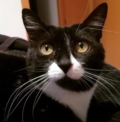Gitana, gata blanquinegra dulce y tranquila esterilizada, nacida en Febrero´14, en adopción. Valencia. ADOPTADA. 41870693655_e6a8ca1f45