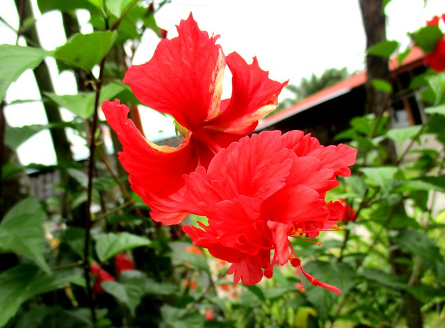 Flower within a flower, red