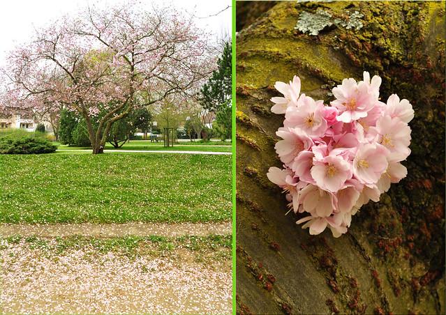 Rosarote Blütenpracht im Gemeindepark Edingen ... Foto: Brigitte Stolle