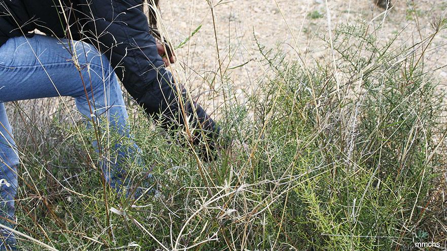 cogiendo espárragos en el campo