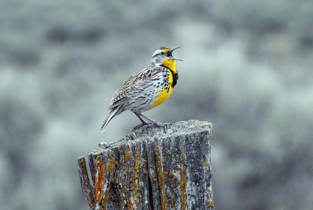 Western Meadowlark (Sturnella neglecta)。圖片來源:Dan Dzurisin(CC BY-NC-ND 2.0)