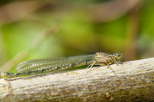 Damselfly | by Mike.Pursey