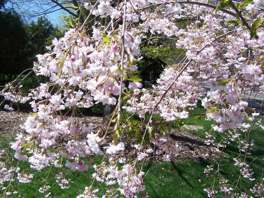 Our Small Flowering Willow Tree Scott Hamlin Flickr