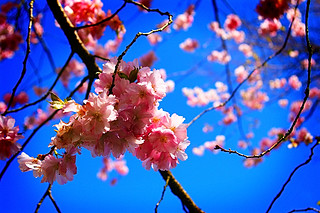 Flowering cherry | by borealnz