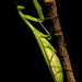 Praying Mantis Lying in Ambush for Prey on a Dry Branch