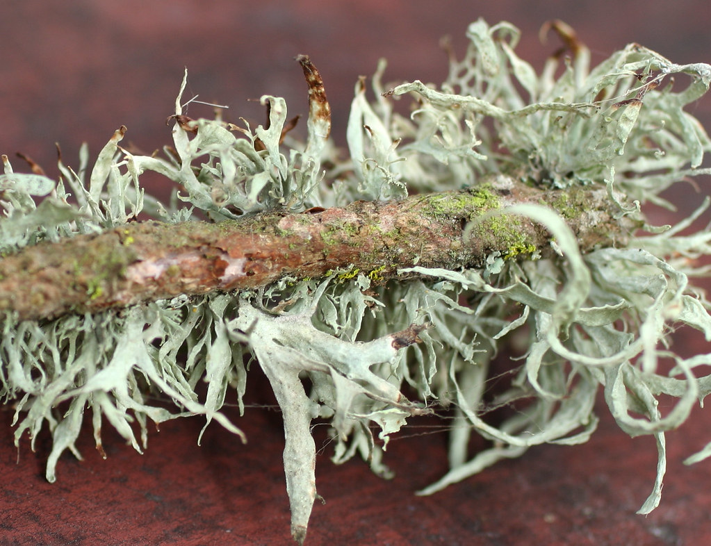 Moss | Close up look at a twig covered in Spanish Moss ...