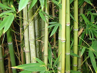 Bamboo forest, natural light | by pecos annie