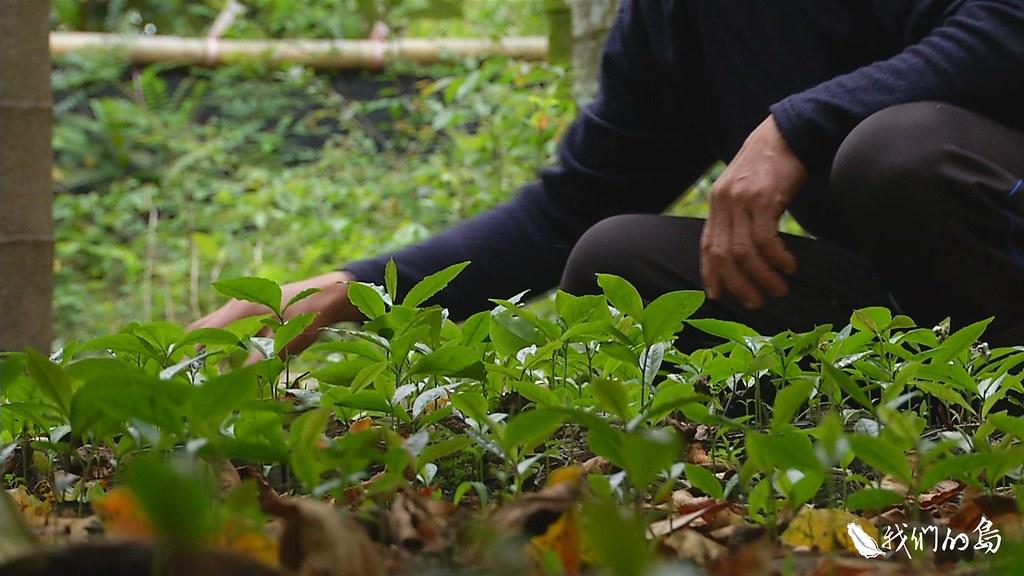 956-3-28民間和官方不約而同進行育種和保種,不論品質、環境都是處處用心,只為了讓台灣山茶繼續保留在這塊土地上。