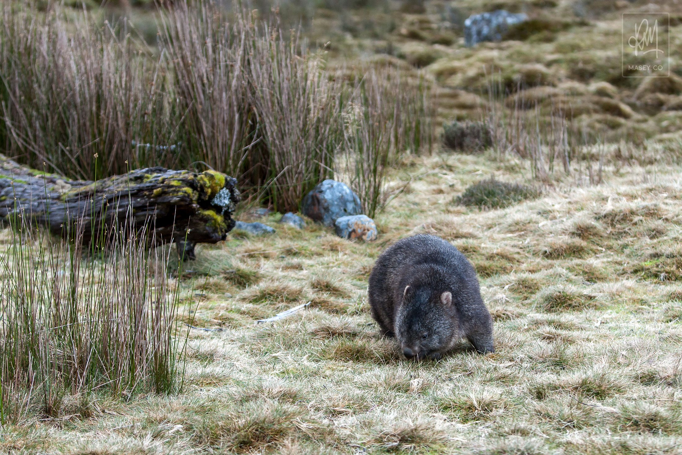 Just a wombat wombling along...