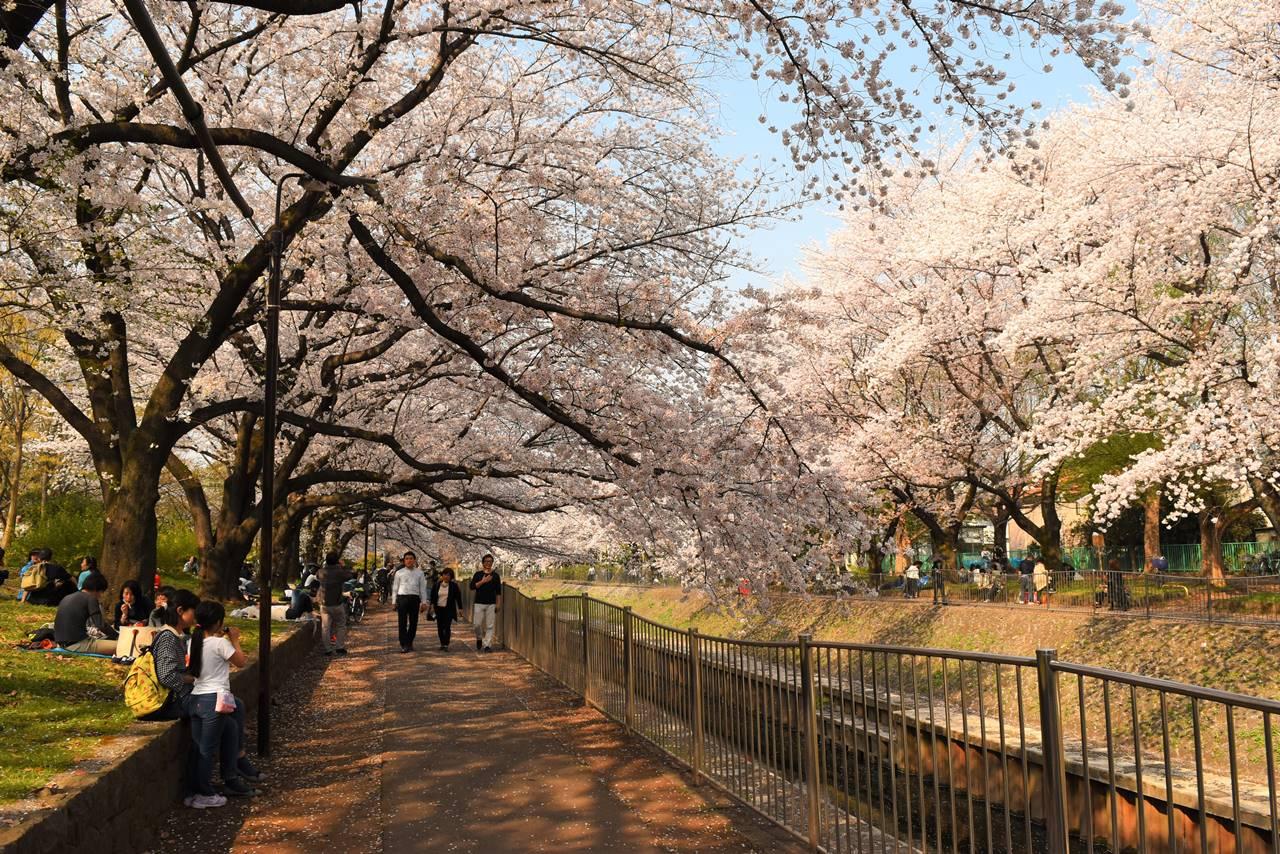 善福寺川沿いの桜並木