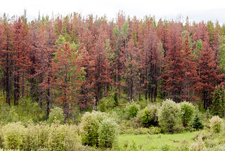 Green and dead trees showing the bark beettle outbreaks that is killing millions of trees