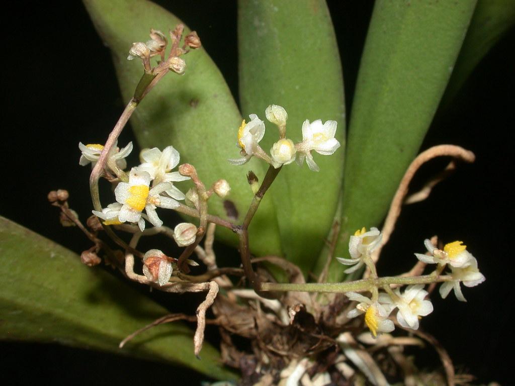 Miniatur-Orchideen Teil 4 - Seite 6 39503787100_e8ae36858d_b