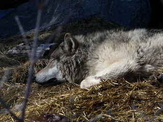 Let Sleeping Wolves Lie | by eileenmak
