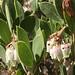 Manzanita Flower Time