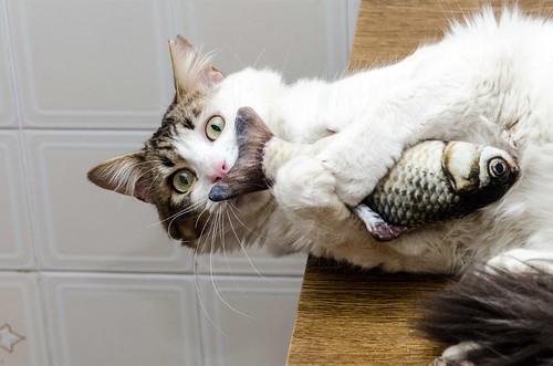 Aquiles, gato cruce Van Turco noble y buenísimo esterilizado, nacido en Enero´16, en adopción. Valencia. ADOPTADO. 27622021708_d5f72d727e