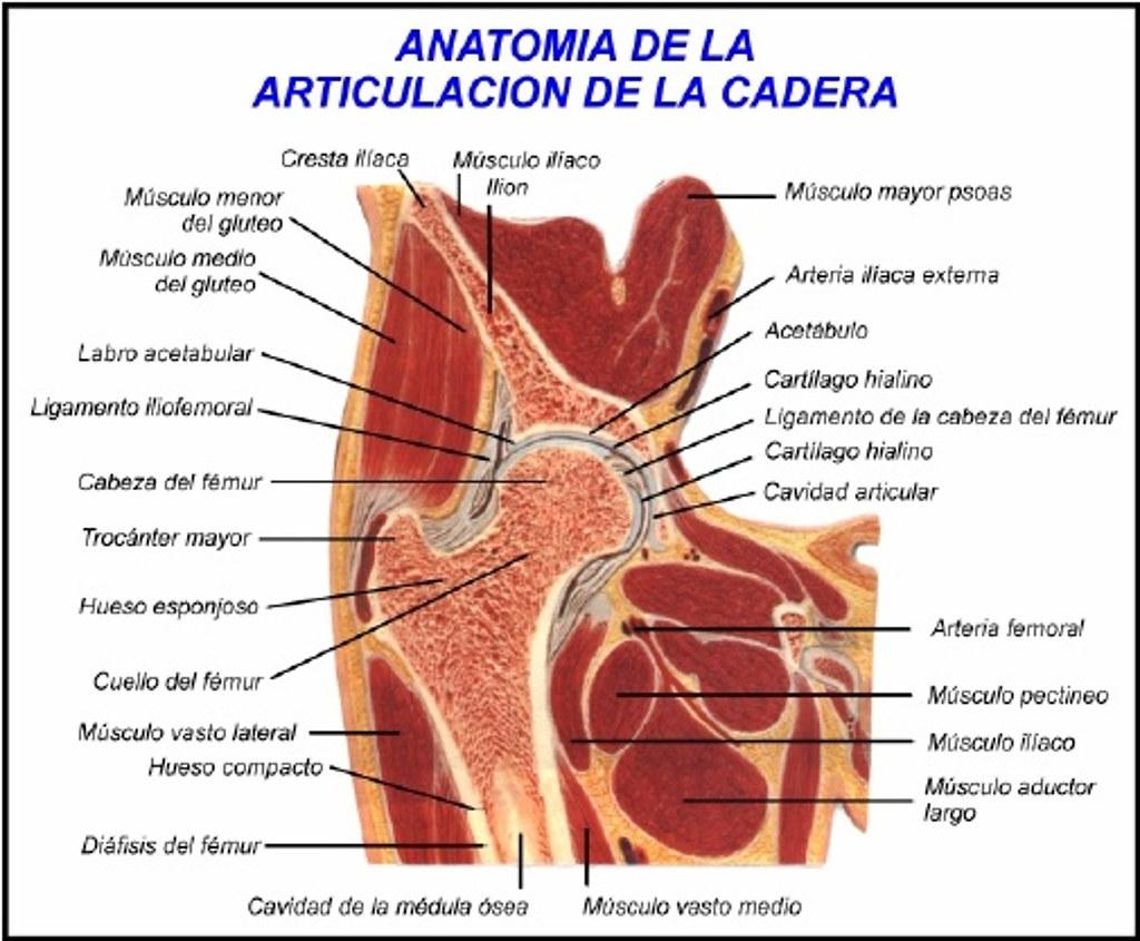 Figura 8 - Anatomía de la cadera normal adulto | Fernando Micó | Flickr