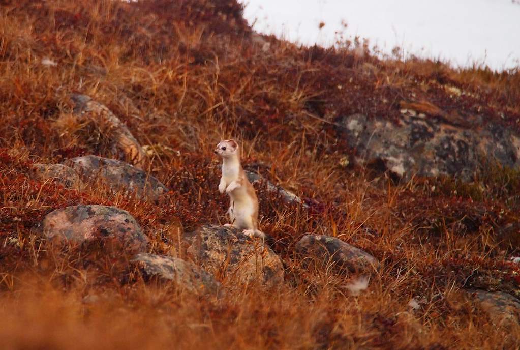 伶鼬。Fiona Paton(CC BY-NC-ND 2.0)