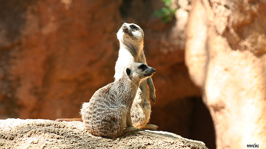 surikatos vigilando