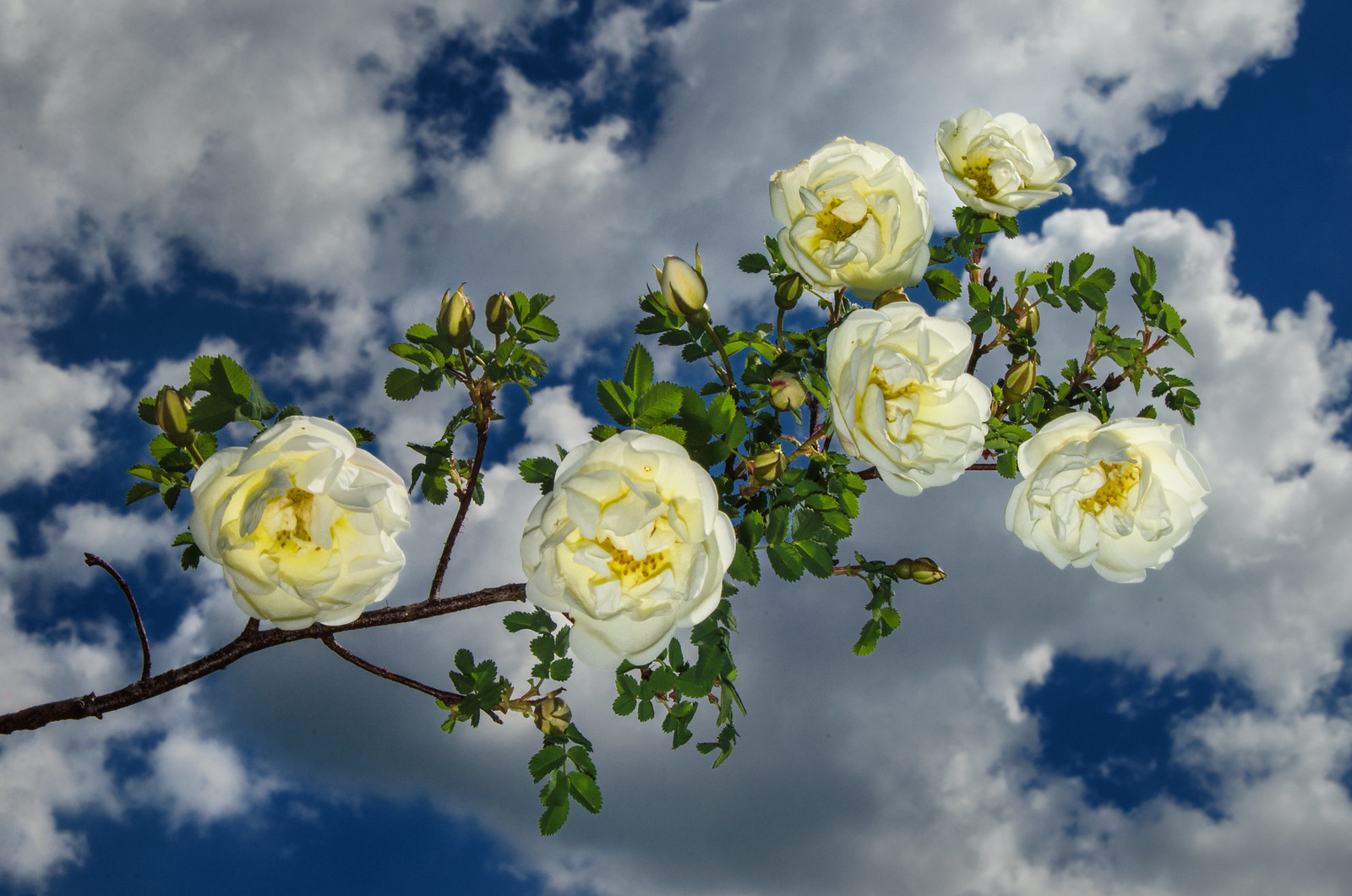 Белая дикая роза в небе с облаками (white wild rose in the sky with clouds)))  фотограф Челябинск