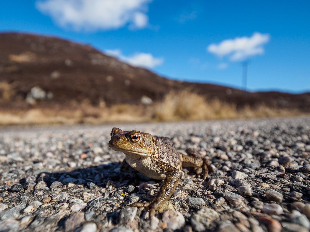toad on the road not a wide mouthed frog but a wide angle flickr