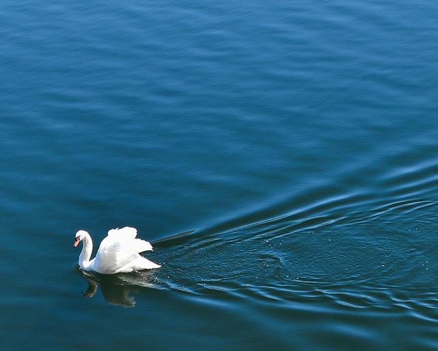 Cisne de Hallstatt con las alas abiertas al sol