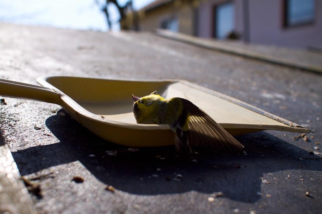 撞到窗戶死亡的鳥。圖片來源:Rainer Hungershausen(CC BY-NC-ND 2.0)。