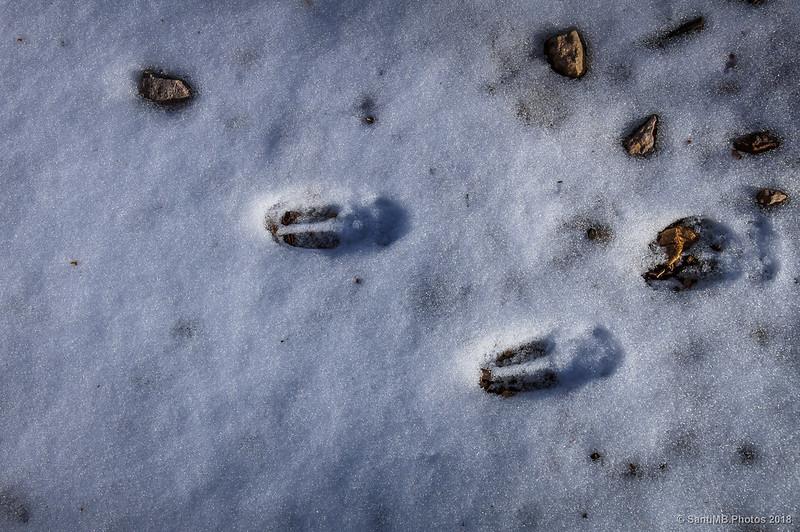 Huellas de rebeco en la nieve