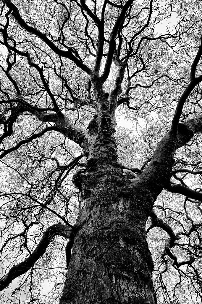 anatomy of a tree | Ancient plane tree in Stratford-upon-Avo ...