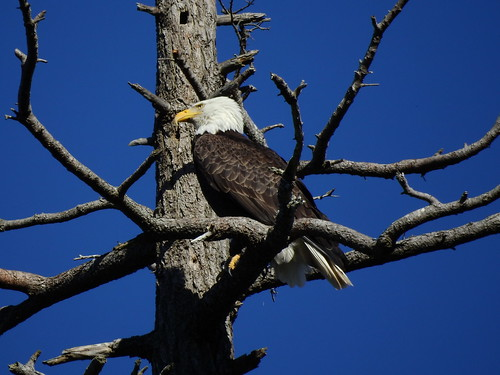 march 15 2018 15:33 - Eagle in The Babysitting Tree | by boonibarb