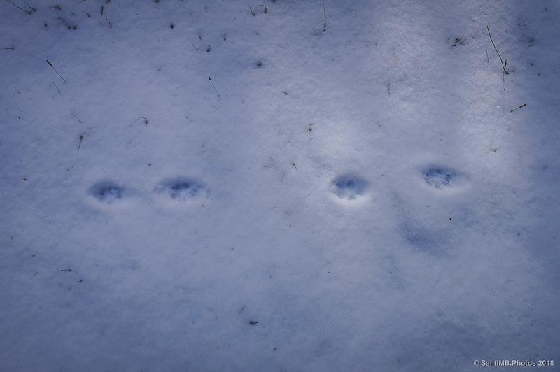 Huellas de zorro caminando