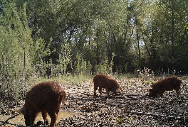 Feral swine foraging
