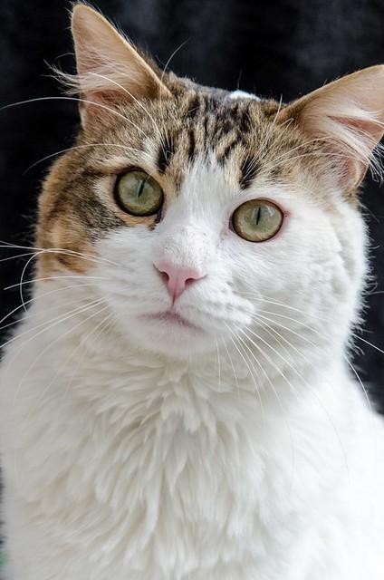 Aquiles, gato cruce Van Turco noble y buenísimo esterilizado, nacido en Enero´16, en adopción. Valencia. ADOPTADO. 27622020148_417405629a_z