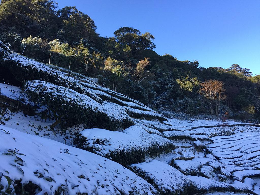 古邁茶園雪景3
