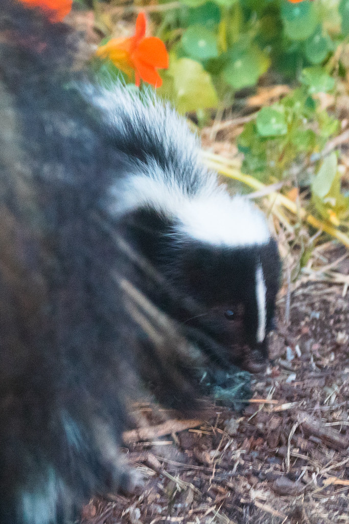 Skunk In Backyard backyard skunk kit-9342 | alan krakauer | flickr