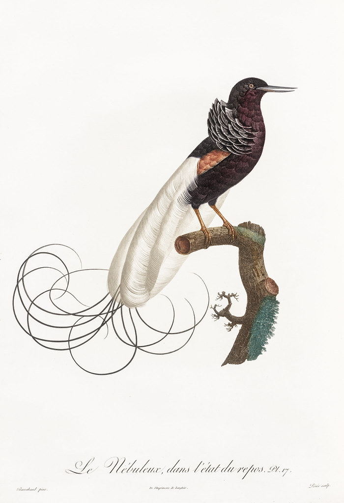 Twelve wired bird of paradise from Histoire Naturelle des …   Flickr