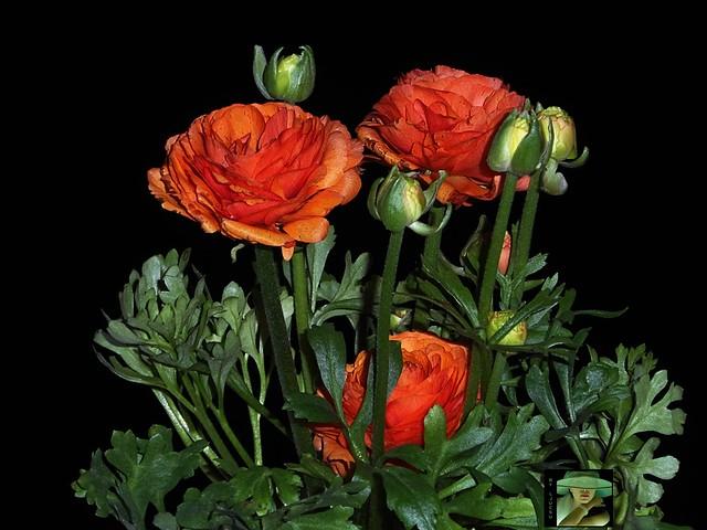 persian buttercup ranunculus asiaticus renoncule des fleuristes marimo a zsiai bogl rka. Black Bedroom Furniture Sets. Home Design Ideas