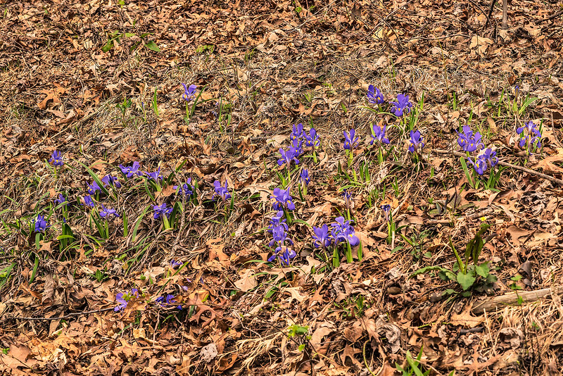 Large group of Dwarf Iris